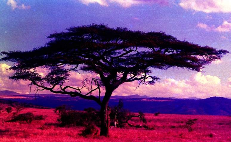 thorn tree (Lewa)