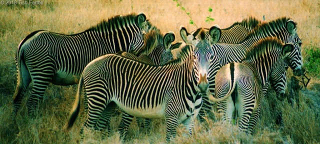 Grevys-zebra.jpg