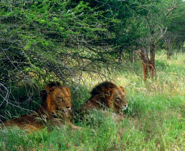lions-in-the-Taita-reserve-1992.jpg