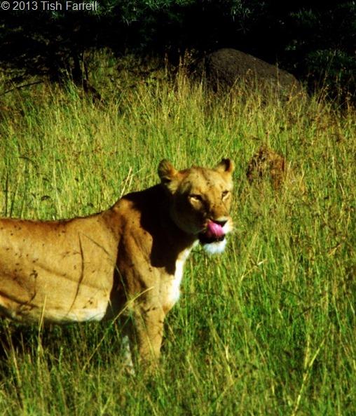 Mara lioness 2