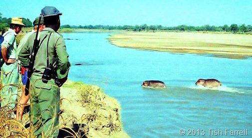 South Luangwa - dawn walk and hippos