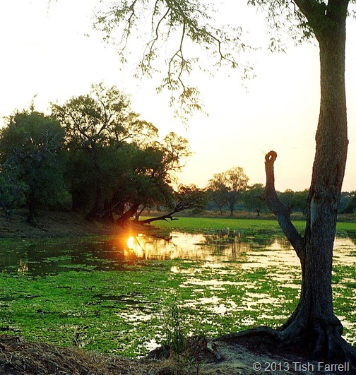 South Luangwa - lagoon with cabbage weed 2