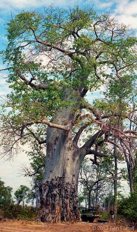 South Luangwa - mighty poachers' baobab