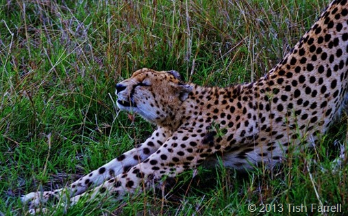 cheetah stretching
