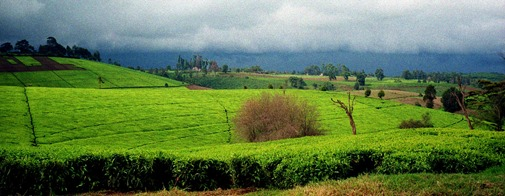 Limuru tea fields in the long rains