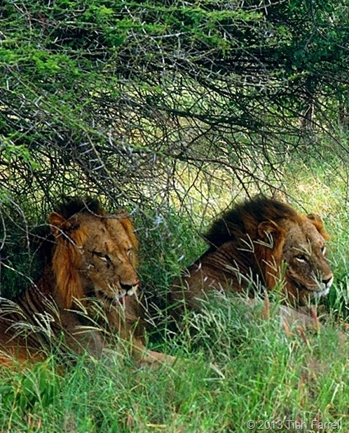 lions in the Taita reserve 1992