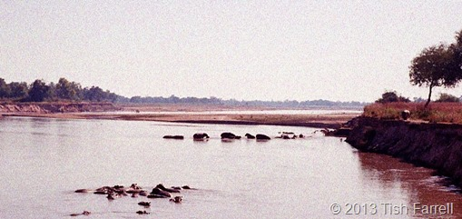 South Luangwa - hippos and bull on the bank 2 wider view