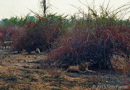 South Luangwa - spot the lions 1
