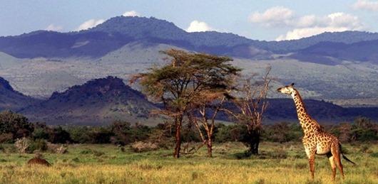 Kenya; Chyulu Hills; Campi ya Kanzi - Giraffe in the Chyulu Hills