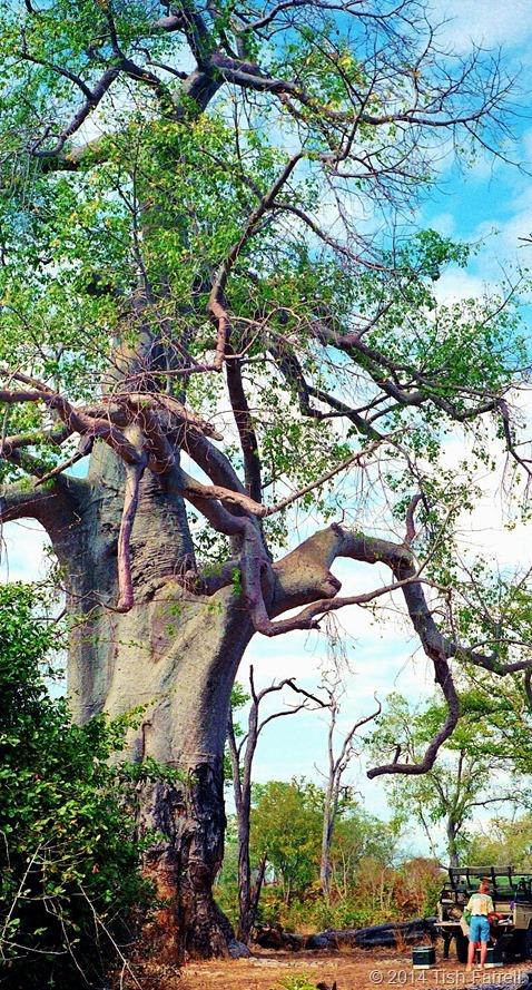 South Luangwa - mighty poachers' baobab 2
