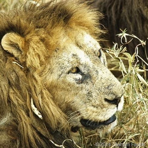 lion_Ngorongoro_178