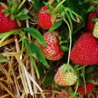 Strawberry & Rhubarb Cordial