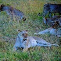 Hyena Heist in the Mara