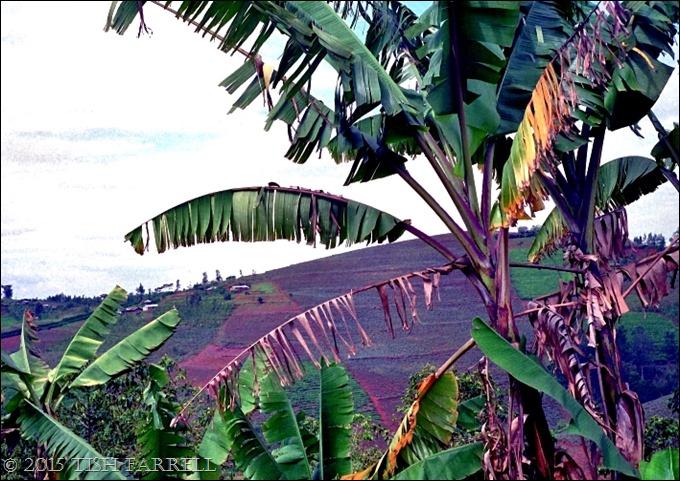 banana trees 2