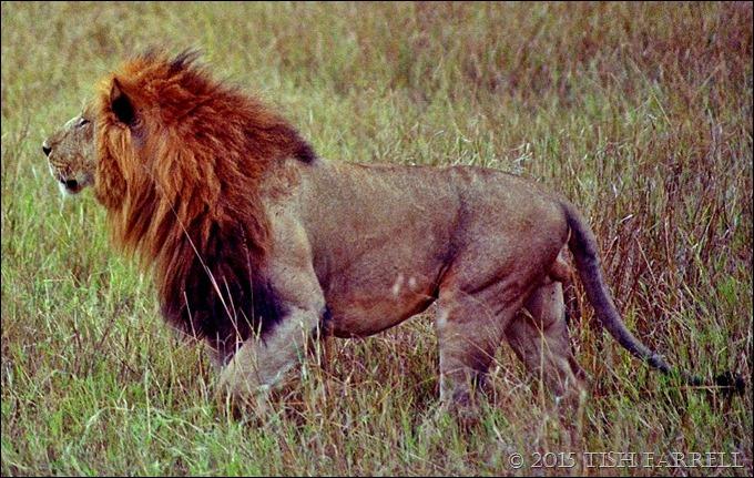 Marsh Pride male 3