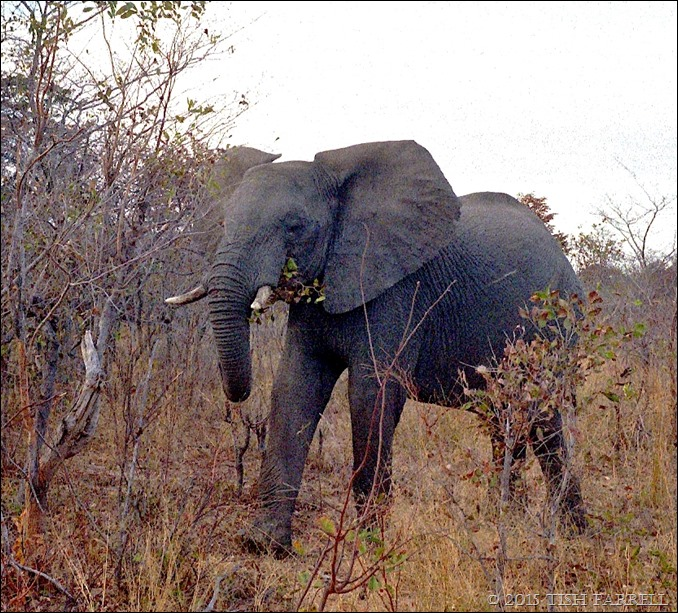 Hwange National Park - elephant in the bush 6