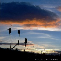 Corncockle Sunset ~ Nature Photo 6
