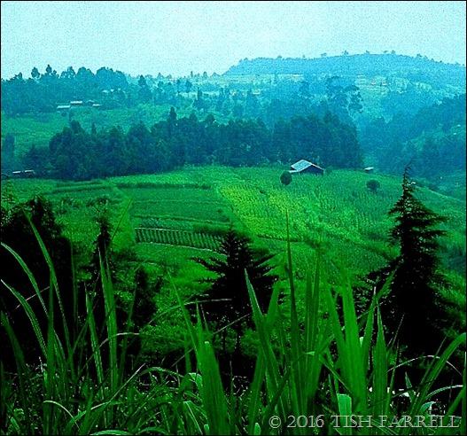 napier grass on the Rift