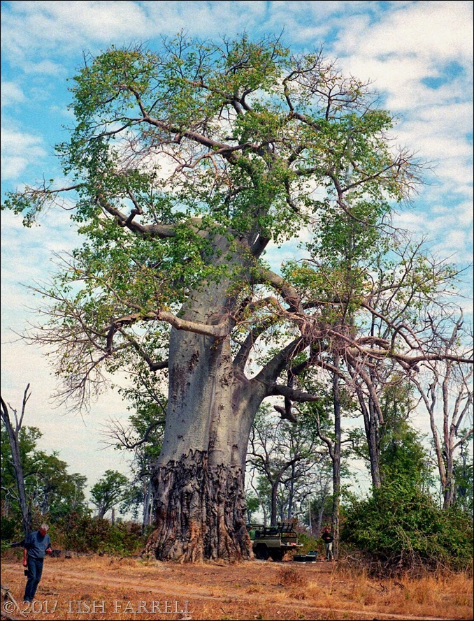 South Luangwa - mighty poachers' baobab