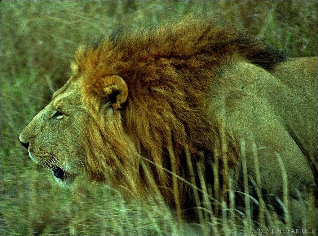 Marsh Pride male 1