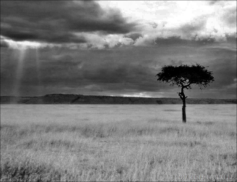 desert date mulului tree 001