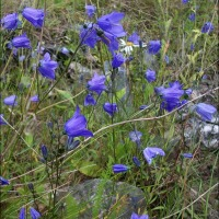 Harebells Colonize An Old Industrial Wasteland