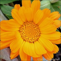 Nothing More Cheering Than A Marigold