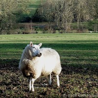 """Just Make Sure You Get My Best Side"" ~ Ovine Vanity On This Week's Thursday's Special"