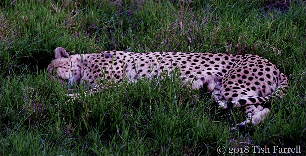 cheetah snoozing