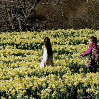 A Daffodil Sea ~ What Can Be More Wonderful?