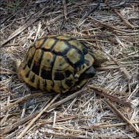 Greek Tortoise ~ Own Roof, Will Travel