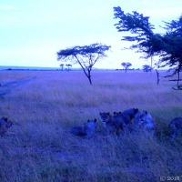 The Blue Hour With Lions In The Maasai Mara
