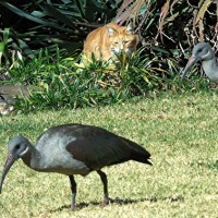 A Co-Production: Ark's Hadeda Ibis Photos–My Ibis Poem