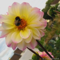 Sundowner Bee At The Allotment Cafe
