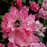 Bee-fuddled Bumble ~ A Case Of Too Much Pink?