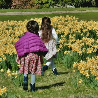 An Excitement Of Daffodils At Bodnant Garden