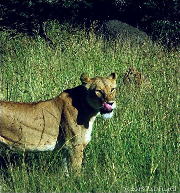 Mara lioness 2 (2)
