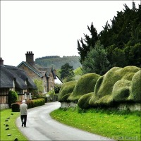 The Ancient 'Cloud' hedge Of Brampton Bryan