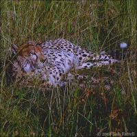 Chilling Out Cheetah Style And Some Timely Wildlife Good News