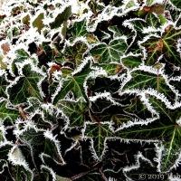 Today On The Garden Wall ~ Iced Ivy