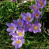 Crocus Love