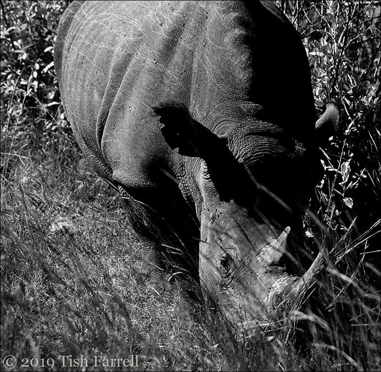 rhino bw