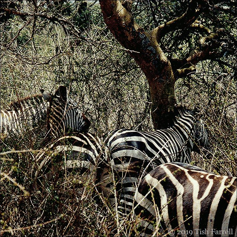 IMG_0013 zebra taita