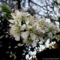 Damson Blossom Profusion