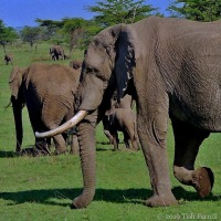 Elephants In The Acacias