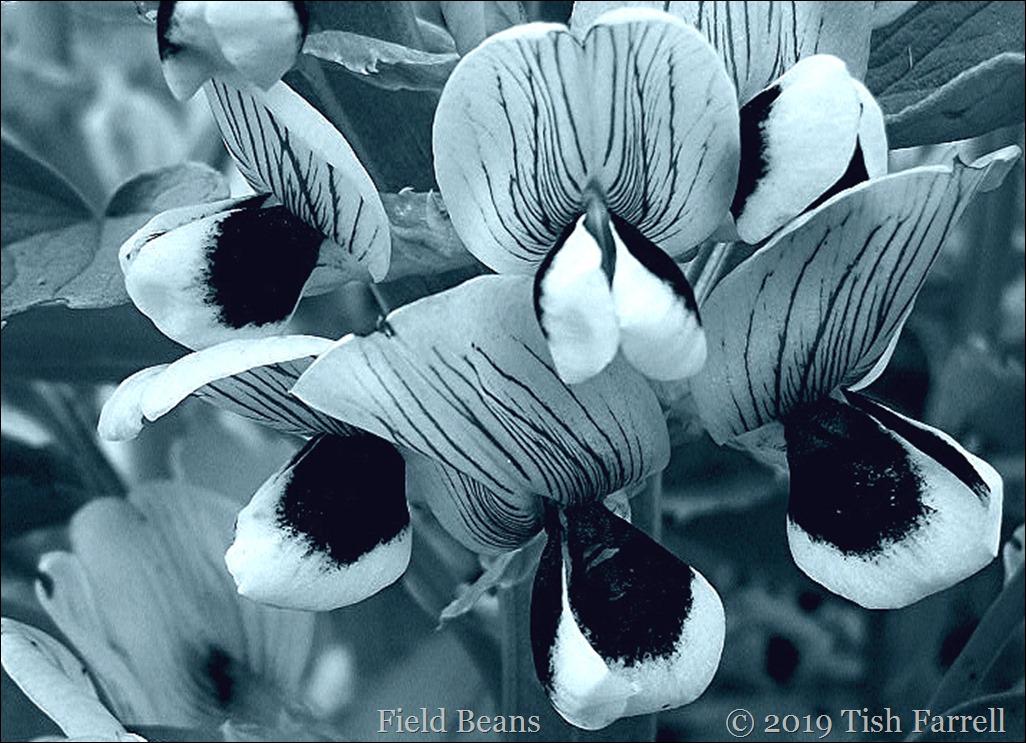 100_5620 field bean flowers