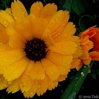 Garden Gold ~ Calendula Officinalis