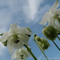 Columbine Clouds ~ The Wednesday Garden
