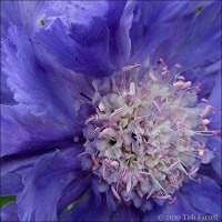 Scabious ~ A Heavenly Blue