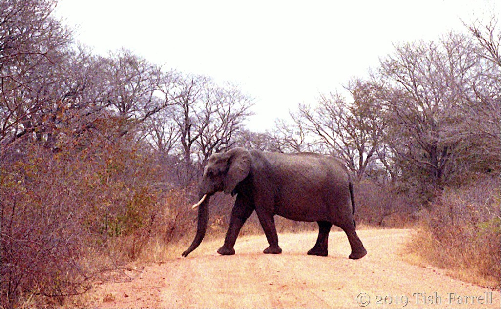 Hwange National Park - elephant crossing our path